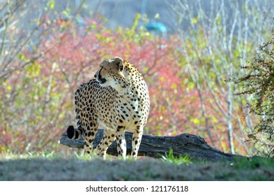 Cheetah looking into distance