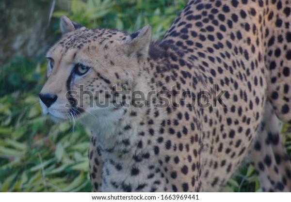 Cheetah is looking for prey