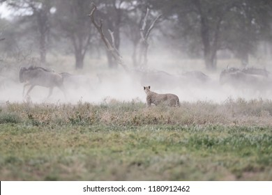 cheetah looking at wildebeest fleeing in a dust cloud,tanzania