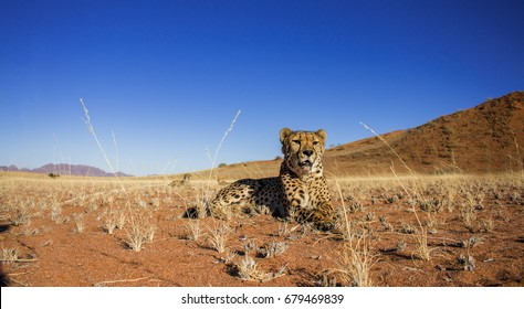 Cheetah lying on grass in the dry Namibia desert, with dunes in the background, taken from ground level.