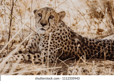 CHeetah lying on the grass, looking straight into the camera