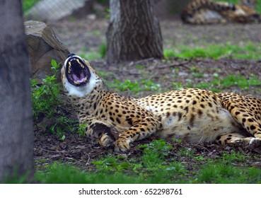Cheetah lying in the park yawns