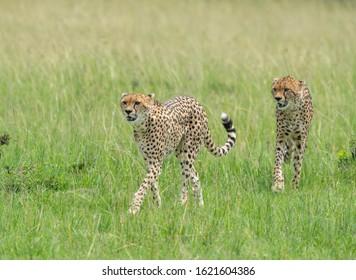 Cheetah Malaika and her young in search of a prey seen at Masai Mara, Kenya, Africa