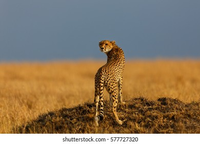 Cheetah Malaika on a termite hill in Masai Mara, Kenya