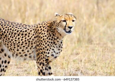 cheetah in mara