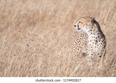 Cheetah in Masai Mara, Kenya