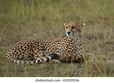 Cheetah in Masai mara kenya