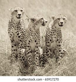 A cheetah mom & her 2 cubs on the plains of the Masai Mara (sepia tone).