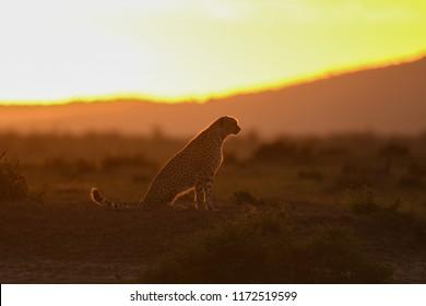 Cheetah in morning light at sunrise in Masai Mara Game Reserve, Kenya