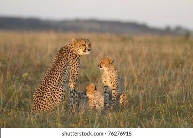 Cheetah mother and cubs on grassland plain