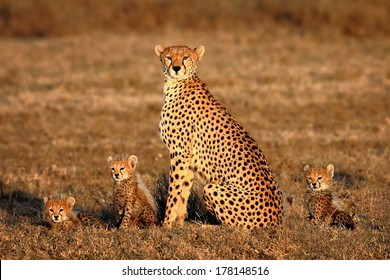cheetah mother and cubs portrait