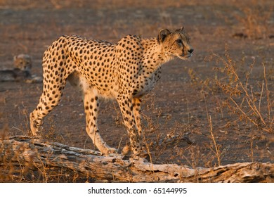 A cheetah mother on the hunt