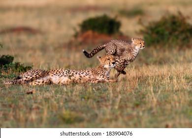 Cheetah mother and running Cheetah cub during playing time with siblings in Masai Mara, Kenya