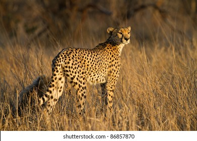 A cheetah mother with a small cub in golden light
