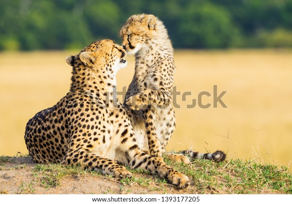 Cheetah mother and son kissing in the masai mara with perfect light