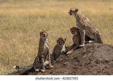 Cheetah mother and three cubs sitting on termite mound watching for prey.  Taken in the Masai Mara Kenya.