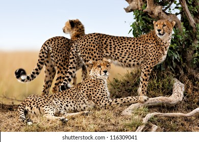 Cheetah mother and two older cubs, Masai Mara, Kenya