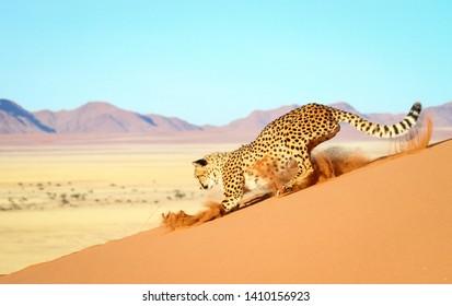 Cheetah in the Namib Desert