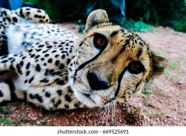 Cheetah in namibian savannah looks to camera, Namibia