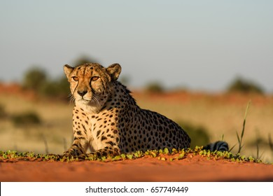 Cheetah in natural habitat, Kalahari Desert, Namibia
