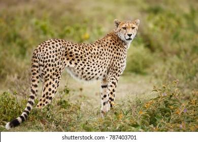 A cheetah on Africa's Serengeti plains