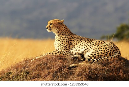 Cheetah on the hill looking out for prey