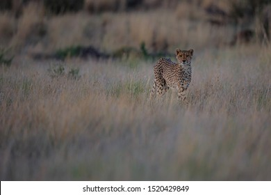Cheetah on the hunt in the late afternoon in a Game Reserve in the Karoo in South Africa with copy space