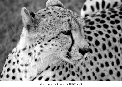 Cheetah on lookout