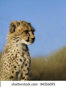 Cheetah on open grassland