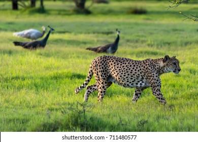 Cheetah on Sir Bani Yas Island in Abu Dhabi
