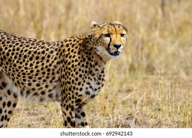 cheetah on a stroll in the wild