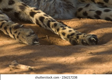Cheetah paws and claws closeup