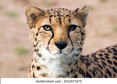 cheetah portrait face close up