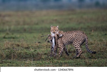 A cheetah with prey in its mouth on a rainy evening in Masai Mara Game Reserve, Kenya