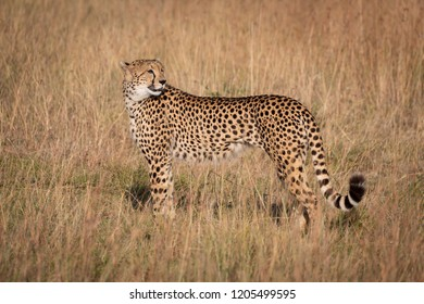 Cheetah in profile looking back in grass