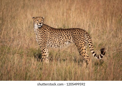Cheetah in profile looks back in grass