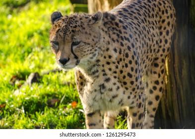 A cheetah prowls
