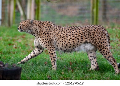 A Cheetah prowls its territory