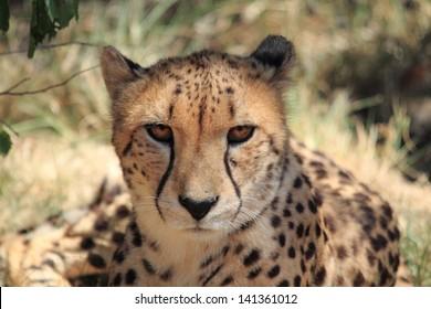 cheetah real king feline predator africa animal fastest mammal in the world