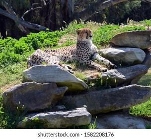 Cheetah relaxing lying on rocks