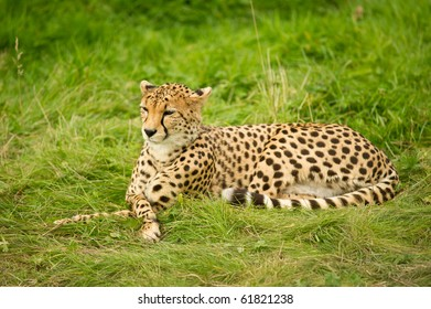 Cheetah resting in grass with legs crossed.