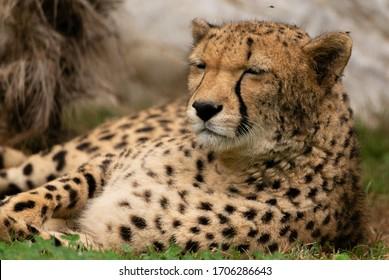 A cheetah resting on grass.