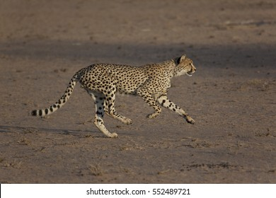Cheetah running, chasing down antelope