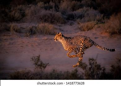 cheetah running down the road at dusk