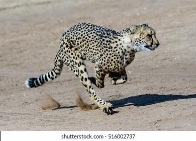 cheetah running at full speed