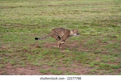 A cheetah running at full speed on an open plain