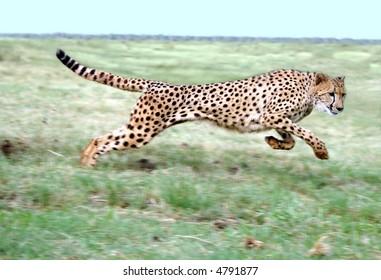 Cheetah running on open plain