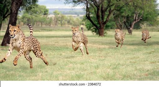 Cheetah running sequence