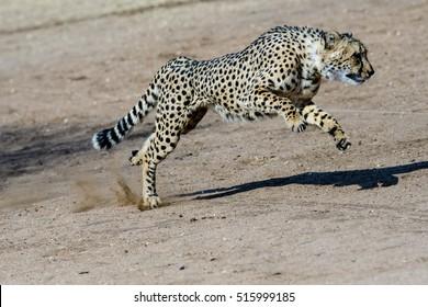 Cheetah running at speed
