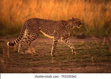 Cheetah in Savannah Grasses, Masai Mara